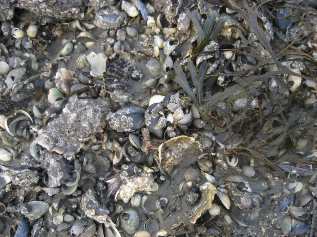 images-blue_mussels_pacific_oysters